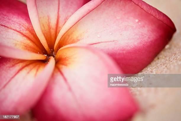 フランジパニ(プルメリアの花をビーチ)