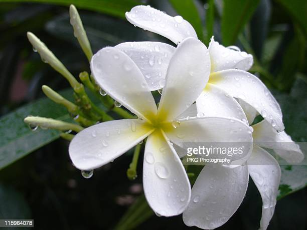 frangipani flower or plumeria - {{asset.href}} stock pictures, royalty-free photos & images
