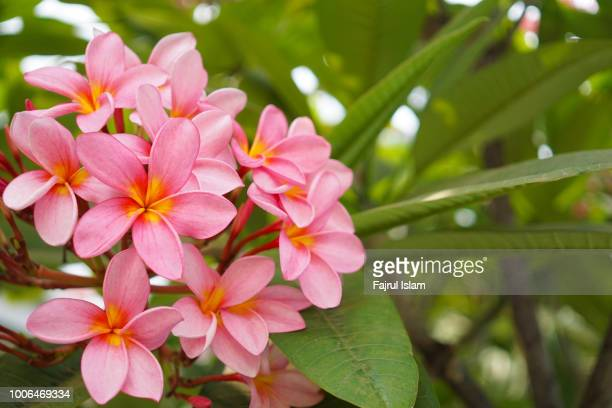 frangipani flower - flowering plant stock pictures, royalty-free photos & images