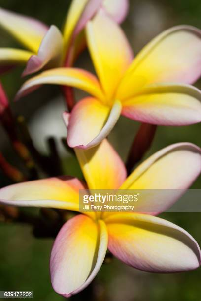 frangipani flower - niue island stock photos and pictures