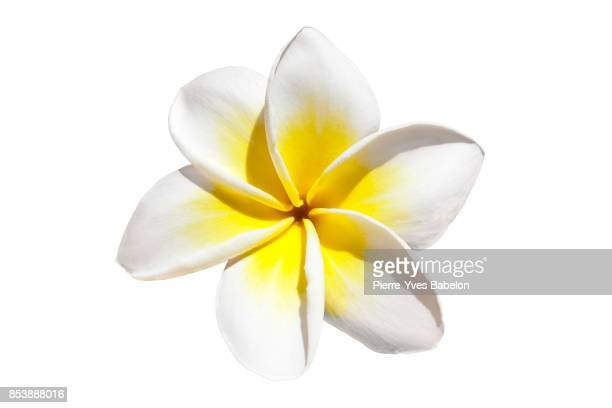 frangipani flower - tropical flower stock photos and pictures