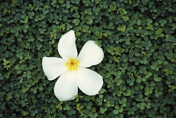 Frangipani Flower, South Pacific Wall Art