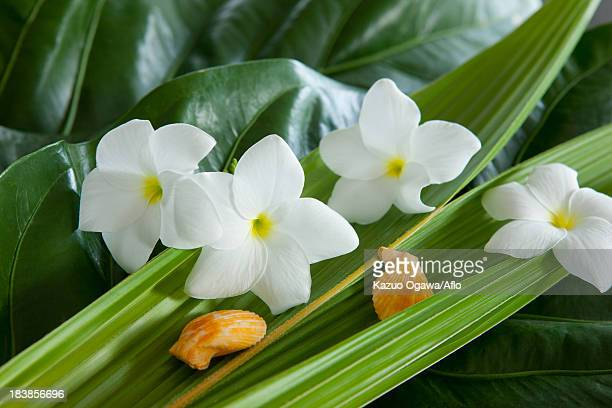 Frangipani flowers and shells