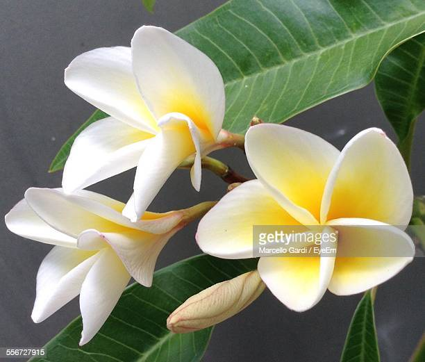 Frangipani Growing In Yard