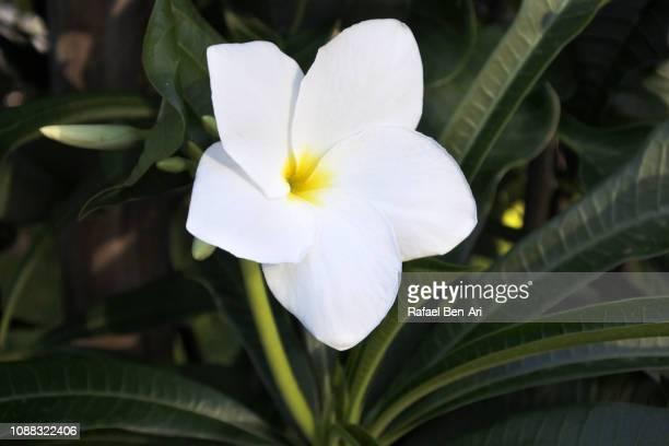 Frangipani Hawaiin Flower
