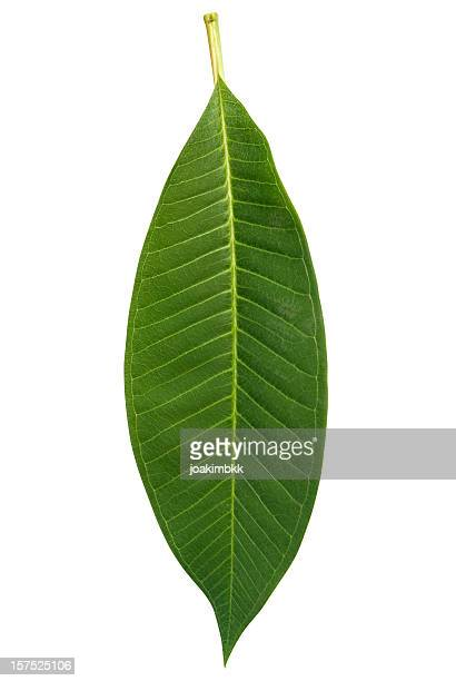 Frangipani leaf isolated on white with clipping path
