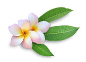 A frangipani on a white background