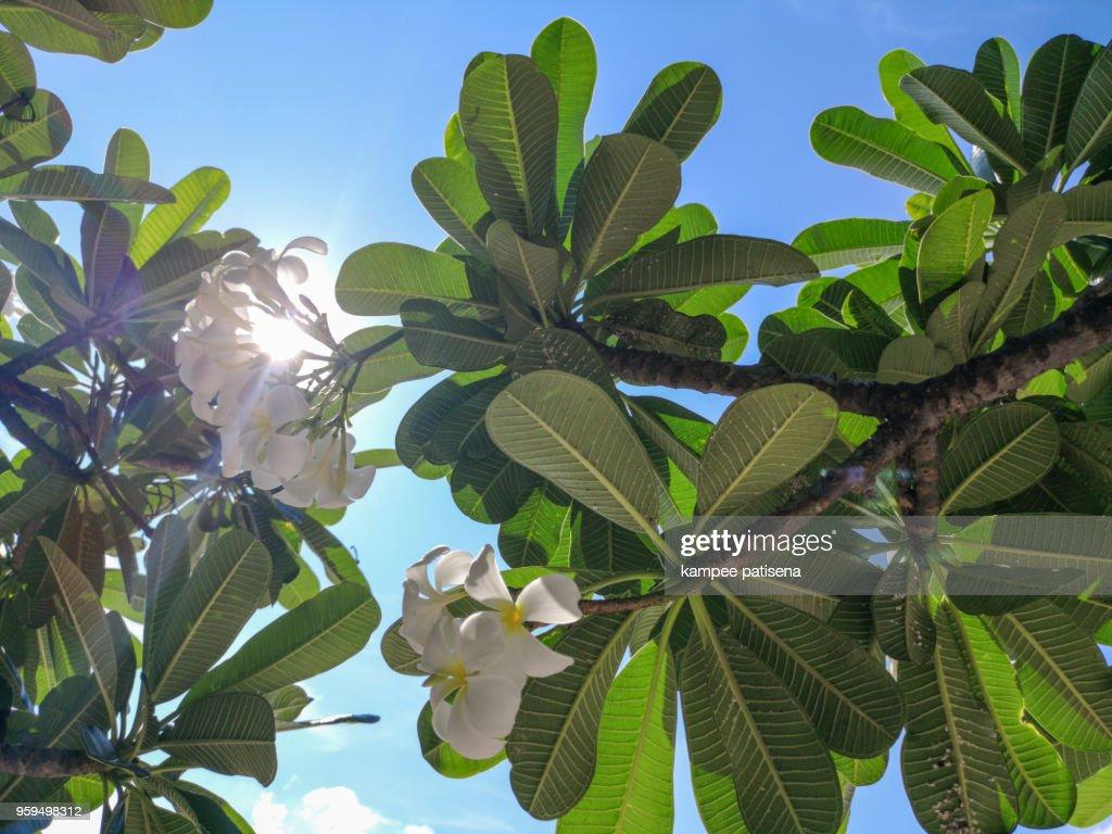 Frangipani ,Plumeria tree beside beach on Koh Sichang, Chonburi, Thailand. : Stock-Foto