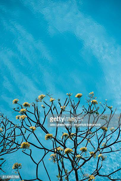 Frangipani tree on blue sky background