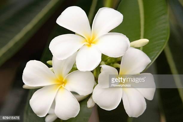 Frangipani / West Indian Jasmine / Monoi Plumeria Alba