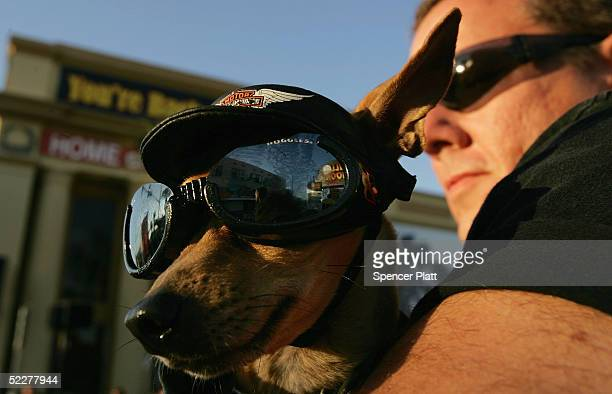 Frank Boyle holds his dog Harley during Bike Week March 4 2005 in Daytona Beach Florida The 10day 64th annual Bike Week event will feature numerous...