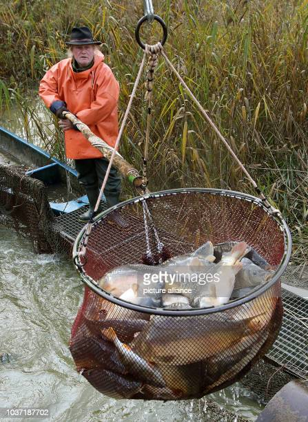 Frank Schley transports the fish with a net to the sorting table after fishing in a carp pond from the Mueritz-Plau fishery in the Muertiz National...
