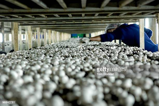 Frank Xerri grows and markets 8 tonnes of Champignon mushrooms per week which are sold to restaurants and the general public in Malta The mushrooms...