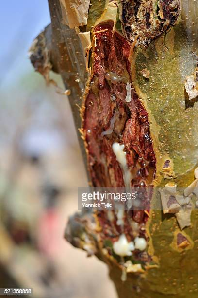 frankincense resin drops from a boswellia tree in puntland - bosaso stock pictures, royalty-free photos & images