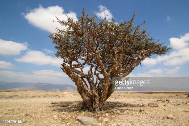 frankincense tree in dhofar, oman - frans sellies stockfoto's en -beelden