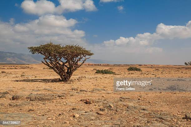 Frankincense tree in Dhofar, Oman