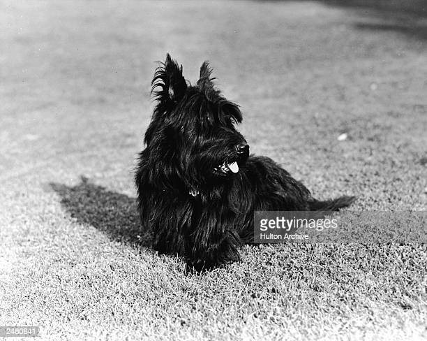 Franklin and Eleanor Roosevelt's pet Scottish Terrier 'Fala' sits on the grass 1940s