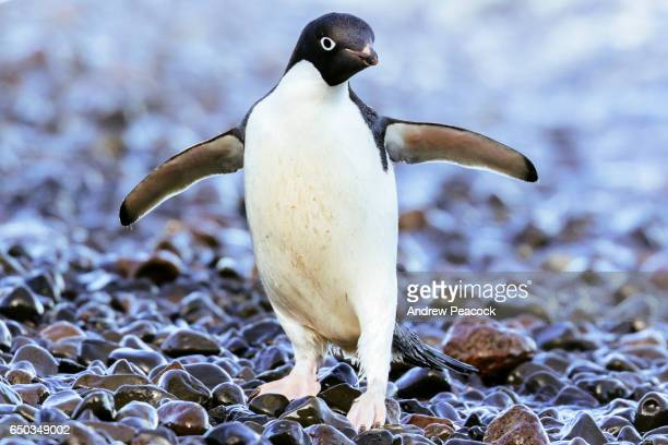 franklin island adelie penguin rookery, ross sea, east antarctica - one animal stock pictures, royalty-free photos & images