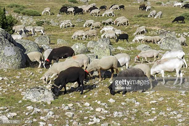 Frankreich Cevennen Departement Gard Lozere Schafzucht hauptsächlich die nichtintensive Aufzucht von Mutterschafen den Lieferanten des RoquefortKäses