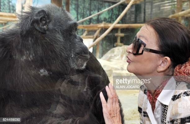 ERIC THOMAS Fran��oise Delord fondatrice du zoo de Beauval pose �� c��t�� d'un chimpanz�� le 19 juillet 2011 �� SaintAignan Avec 4600 animaux dont...