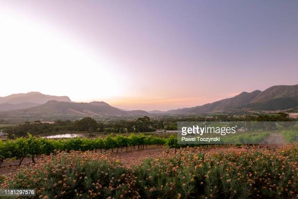 franschhoek town and vineyards seen at sunset, south africa, 2018 - republik südafrika stock-fotos und bilder