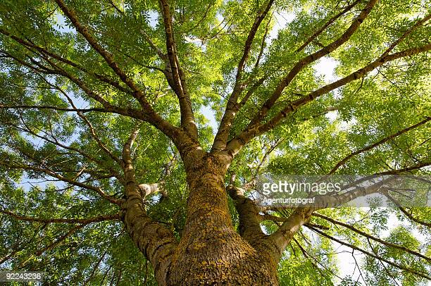 fraxinus excelsior, more commonly known as the ash tree - ash stock pictures, royalty-free photos & images
