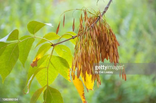 fraxinus pennsylvanica tree - ash tree bildbanksfoton och bilder