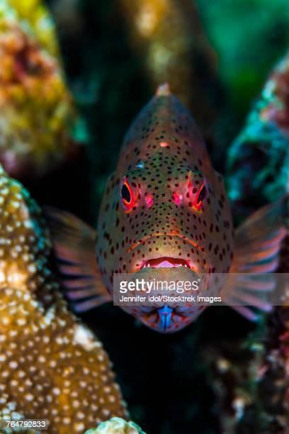 Freckled grouper Raja Ampat, Indonesia.