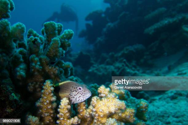 freckled hawkfish, diver in the background - hawkfish stock pictures, royalty-free photos & images