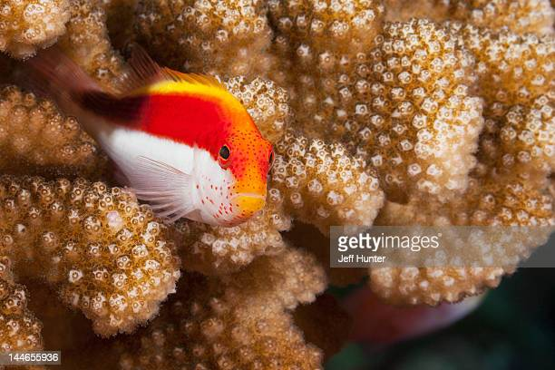 freckled hawkfish hiding in a tropical coral reef - hawkfish stock pictures, royalty-free photos & images