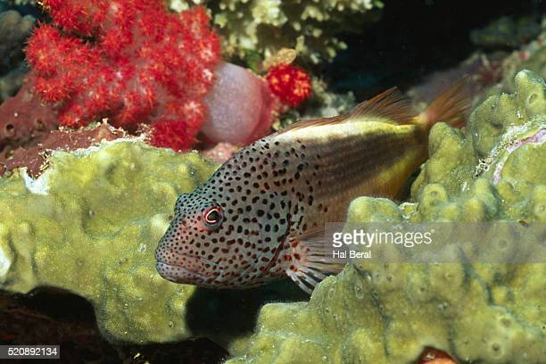 freckled hawkfish - hawkfish stock pictures, royalty-free photos & images