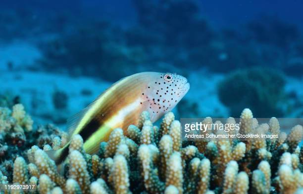 freckled hawkfish, red sea, egypt. - hawkfish stock pictures, royalty-free photos & images