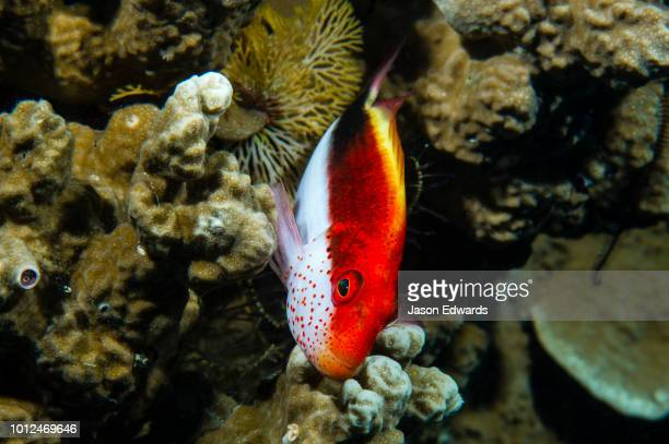 - hawkfish stock pictures, royalty-free photos & images