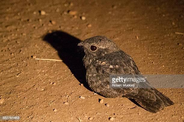 freckled nightjar - nightjar stock photos and pictures