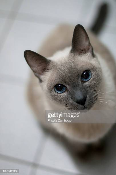 fred cat - siamese cat stock pictures, royalty-free photos & images