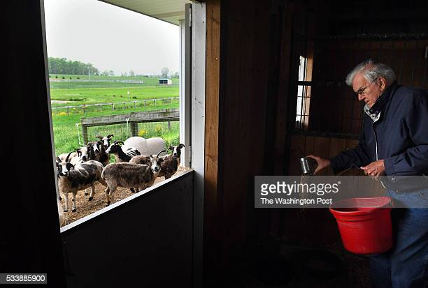 Fred Horak works on feeding some of his Jacob sheep at his property on Wednesday May 11 2016 in Gettysburg PA Ever since he and his wife Joan Horak...