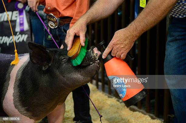 Fred Kayser gives his son's Grand Champion Market Hog water before going out to the ring September 1 2015 at the Colorado State Fairgrounds in the...