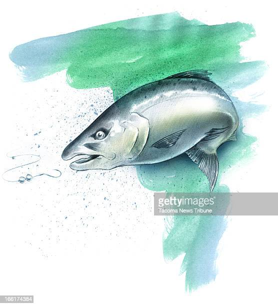 Fred Matamoros color illustration of a coho salmon The News Tribune /MCT via Getty Images