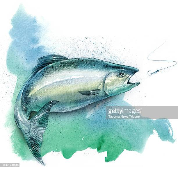 Fred Matamoros color illustration of a pink salmon The News Tribune /MCT via Getty Images