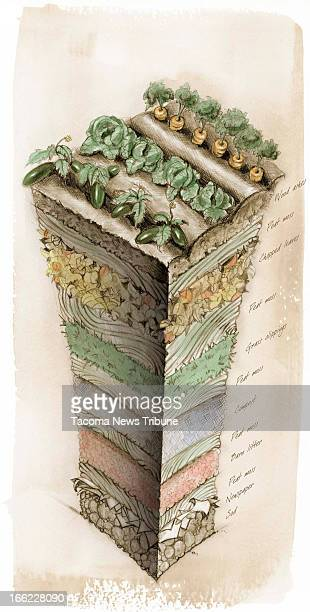 Fred Matamoros color illustration of detailed and labeled 'lasagnastyle' layers of soil newspapers peat moss compost and leaf mulch for a home...