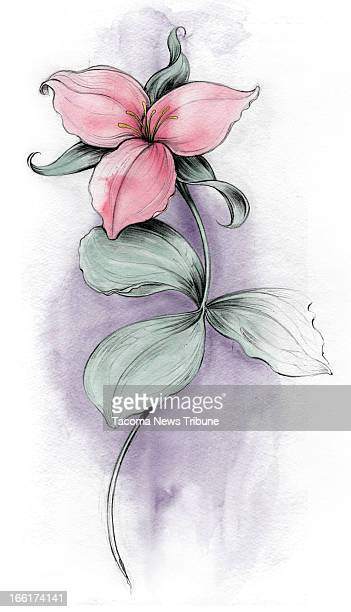 Fred Matamoros color illustration of western trillium The News Tribune /MCT via Getty Images