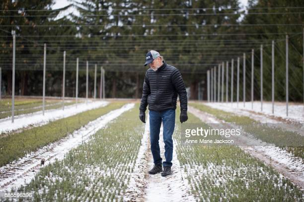Fred Somerville president of Somerville Nurseries Inc in Alliston Ontario examines twoyearold Christmas trees His father John started the company in...