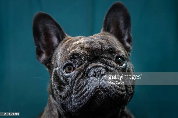 Freddie a twoyearold French bulldog dog poses for a photograph on the second day of Crufts Dog Show at the NEC Arena on March 10 2017 in Birmingham...