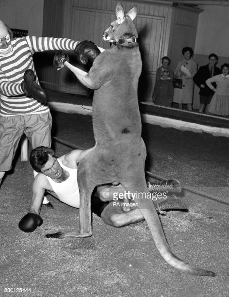 Freddie Mills Britain's former light heavyweight champion spars with George the Kangaroo at Ascot in Berkshire in preparation for the opening of the...