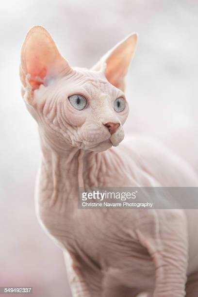 freddy on piano - sphynx hairless cat stock photos and pictures