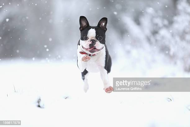 Freddy the Boston Terrier plays in the snow on January 21, 2013 in Nottingham, United Kingdom. The United Kingdom has suffered a weekend of heavy...