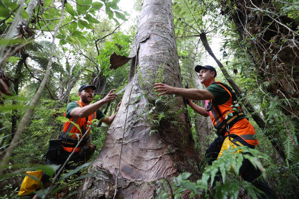NZL: Environmental Research And Biosecurity Teams Work To Prevent Kauri Dieback In New Zealand Forests
