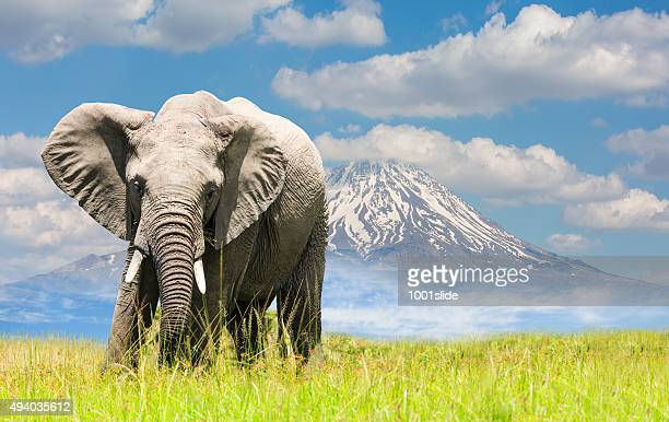 Free African Elephant and mountain