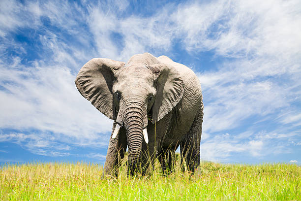 Free African Elephant Wall Art