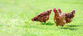 Free and happy hens banner